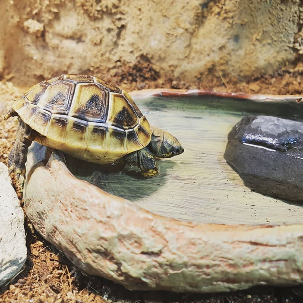 Tortuga de Tierra tomando agua