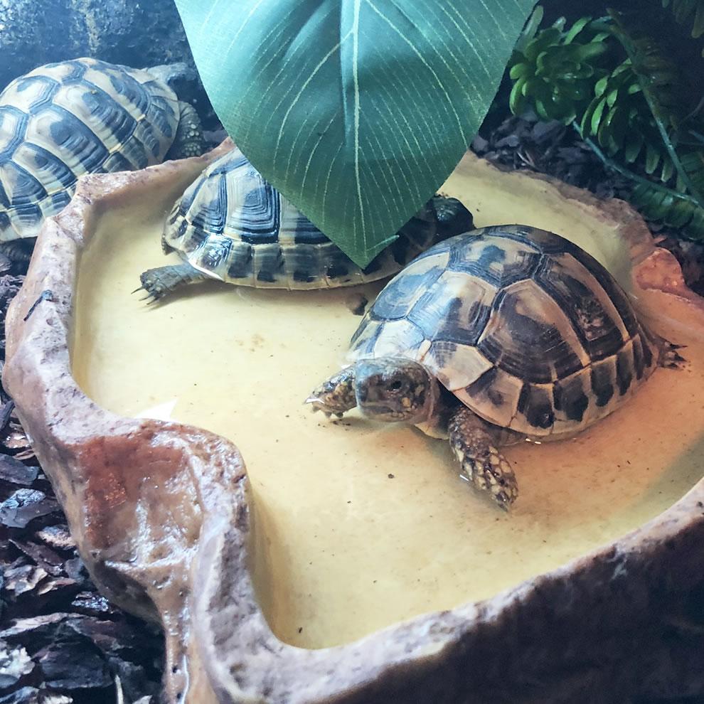 Tortugas de Tierra en Bigos