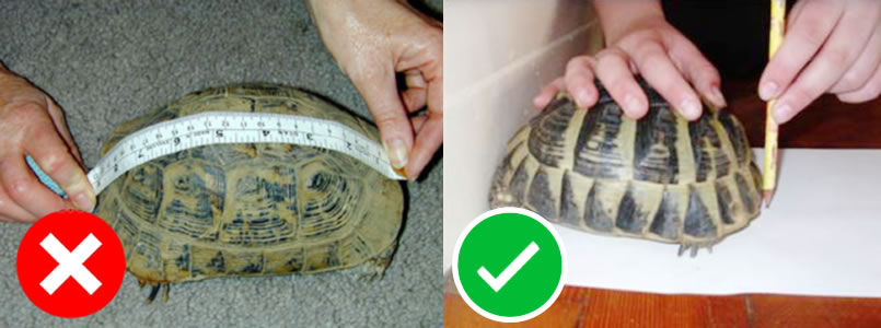 Como medir tu Tortuga de Tierra Mediterránea