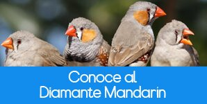 El Diamante Mandarin como mascota