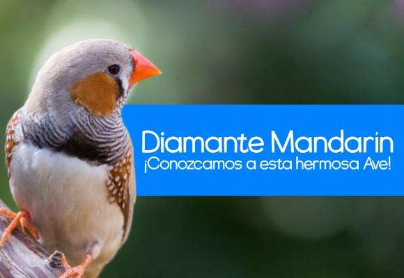 Conociendo al Diamante Mandarín